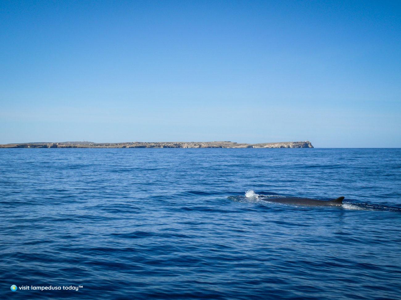 I tesori del Mediterraneo: I cetacei delle Pelagie